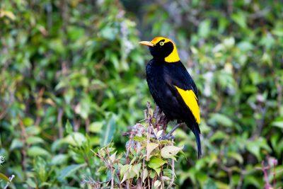 Regent Bowerbird - Male (Sericulus chrysocephalus) - Lammington National Park, QLD (6)