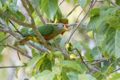 Rose-crowned Fruit Dove (Ptilinopus regina ewingii) - East Point, NT (2)