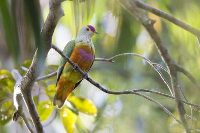 Rose-crowned Fruit Dove (Ptilinopus regina ewingii) - East Point, NT (3)