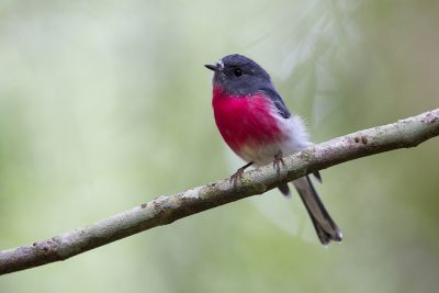 Rose Robin (Petroica rosea) - Lammington National Park, QLD