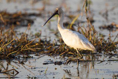 Royal Spoonbill (Platalea regia) - Adelaide River, NT (2)