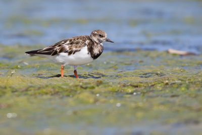 Ruddy Turnstone  - Waipu, New Zealand