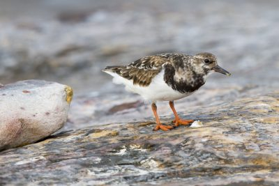 Ruddy Turnstone (Arenaria interpres interpres) - East Point, NT (3)
