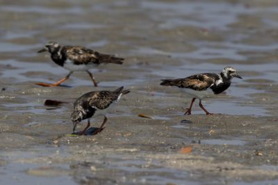 Ruddy Turnstone (Arenaria interpres interpres) - East Point, NT