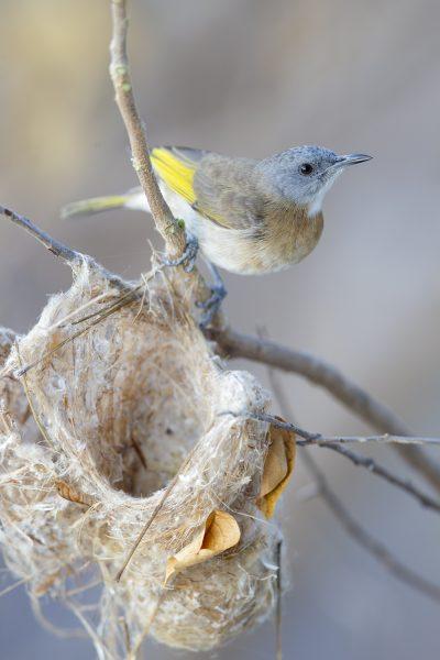 Rufous-banded Honeyeater - Building Nest (Conopophila albogularis) - Darwin, NT