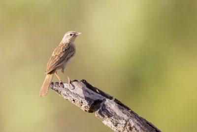 Rufous Songlark (Cincloramphus mathewsi) - Marrakai Track, NT (2)