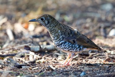 Russet-tailed Thrush (Zoothera heinei heinei) - Lammington National Park, QLD