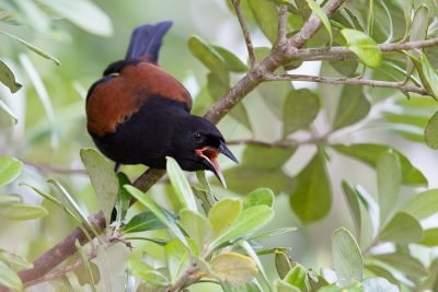 Saddleback  - Titititi Matungi Island, NZ