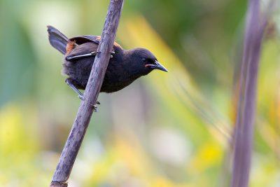 Saddleback  - Titititi Matungi Island, NZ