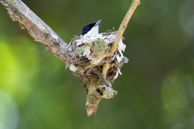 Shining Flycatcher - Female on nest (Myiagra alecto melvillensis) - Daintree, QLD