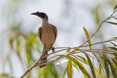 Silver-crowned Friarbird (Sandstone) - Juv Portrait (Philemon argenticeps argenticeps) - Victoria River, NT
