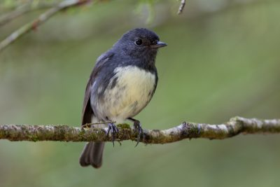 South Island Robin - South Island, New Zealand