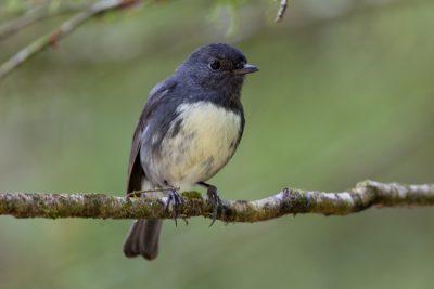 South Island Robin - South Island, New Zealand