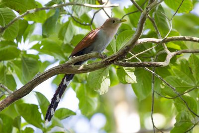 Squirrel Cuckoo.