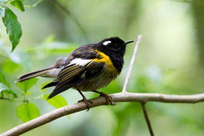 Stitch Bird (Hihi) - Zealandia, Wellington