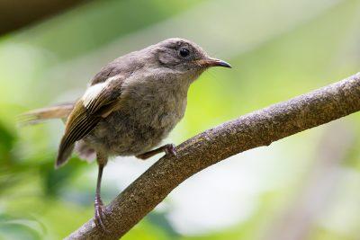 Stitchbird (Female)  - Titititi Matungi Island, NZ