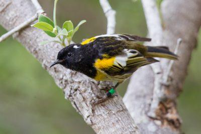 Stitchbird (Male)  - Titititi Matungi Island, NZ