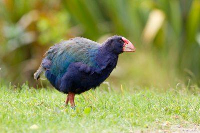Takahe Profile - Zealandia, Wellington