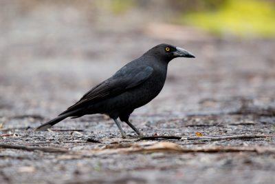 Tasmanian Black Currawong (Strepera fuliginosa fuliginosa) - Tasmania (2)