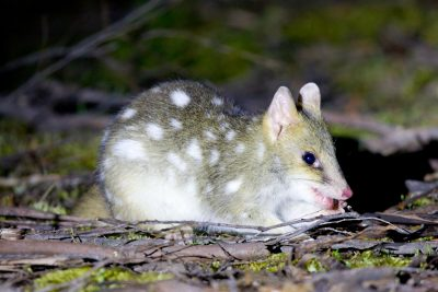 Tasmanian Eastern Quoll