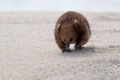 Tasmanian Echidna2