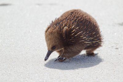 Tasmanian Echidna3