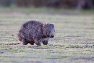 Tasmanian Wombat3