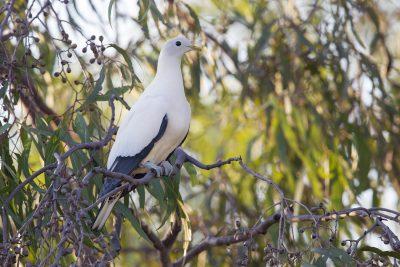 Torresian Imperial-Pigeon (Ducula spilorrhoa) - Darwin, NT (2)