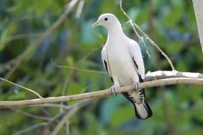Torresian Imperial-pigeon (Ducula spilorrhoa) - Mitchell Plateau WA