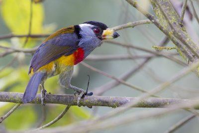 Toucan Barbet (With Wasp) - Paz De Aves (Ant Hill Pass), Ecuador