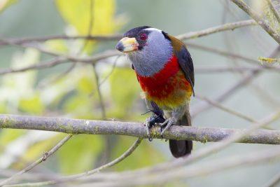 Toucan Barbet (With Wasp) - Paz De Aves (Ant Hill Pass), Ecuador.