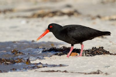 Variable Oyster Catcher (Profile) - Northland, New Zealand