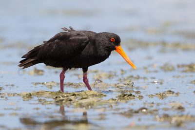 Variable Oystercatcher  - Waipu, New Zealand