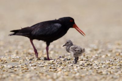 Variable Oystercatcher with Baby   - Waipu, New Zealand
