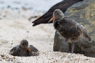 Varied Oystercatcher (Babies)  - Titititi Matungi Island, NZ