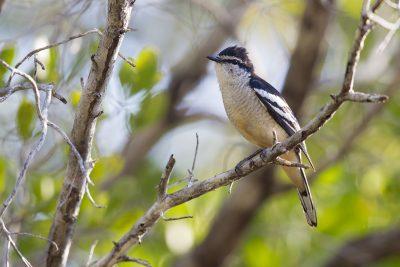 Varied Triller (Lalage leucomela rufiventris) - Darwin, NT