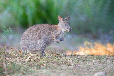 Wallaby3