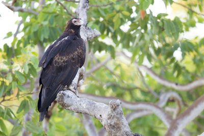 Wedge Tailed Eagle (Aquila audax audax) - Marrakai Track, NT (2)