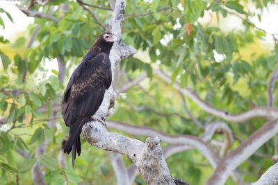 Wedge Tailed Eagle (Aquila audax audax) - Marrakai Track, NT (3)