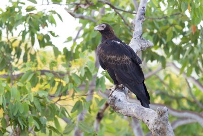 Wedge Tailed Eagle (Aquila audax audax) - Marrakai Track, NT (4)