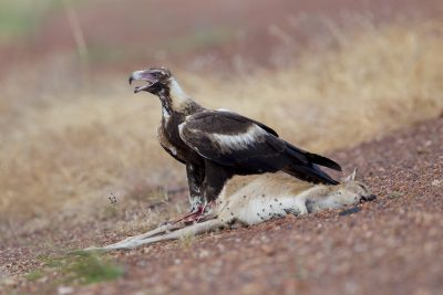 Wedge-tailed Eagle - Eating Agile Wallaby (Aquila audax audax) - Katherine, NT