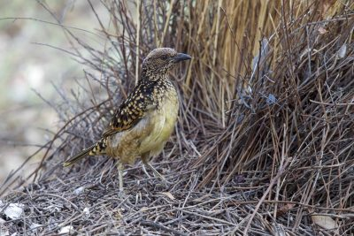 Western Bowerbird (Ptilonorhynchus guttatus guttata) - Alice Springs, NT (2)