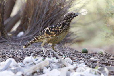 Western Bowerbird (Ptilonorhynchus guttatus guttata) - Alice Springs, NT