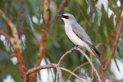 White-bellied Cuckoo-shrike (Coracina papuensis hypoleuca) - Darwin, NT