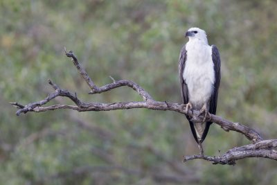 White-bellied Sea Eagle - Profile (Haliaeetus leucogaster) - Mary River, NT (2)