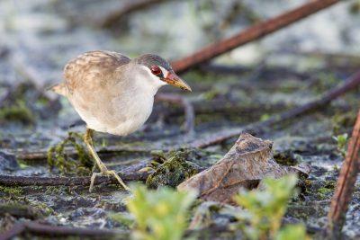 White-browed Crake (Amaurornis cinerea) - Fogg Dam, NT (3)