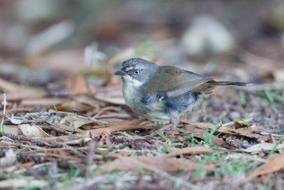 White-browed Scrubwren- Female (Sericornis frontalis) - Lammington National Park, QLD