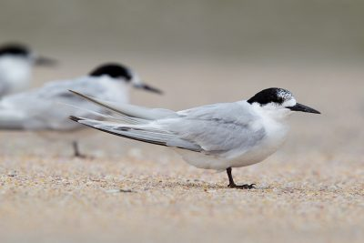White-fronted Tern  - Northland, New Zealand