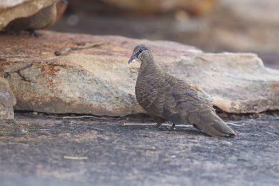White-quilled Rock-Pigeon (Petrophassa albipennis albipennis) - Mitchell Plateau, WA (2)