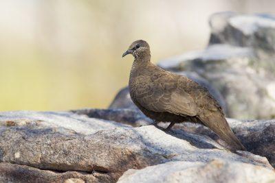 White-quilled Rock-Pigeon (Petrophassa albipennis albipennis) - Mitchell Plateau, WA